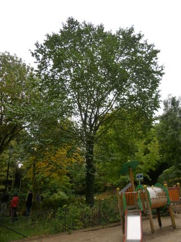Orme commun/de montagne – Saint-Gilles, Parc Pierre Paulus, parc public –  15 Octobre 2013