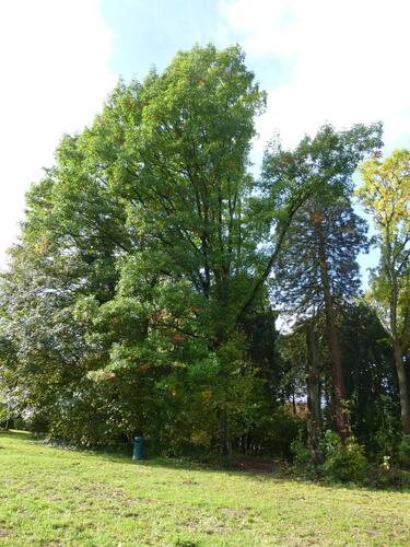 Chêne rouge d'Amérique – Uccle, Parc Fond'Roy –  18 Octobre 2013