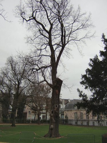 Noyer hybride<br>Bruxelles Parc d'Egmont