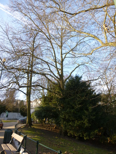 Gewone plataan – Elsene, Vijvers van Elsene, Gulden-Sporenlaan –  16 December 2013