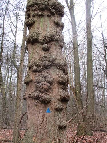 Erable sycomore – Uccle, Forêt de Soignes, Boendael II –  01 Janvier 2014