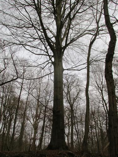 Hêtre d'Europe – Uccle, Forêt de Soignes, Boendael II –  01 Janvier 2014