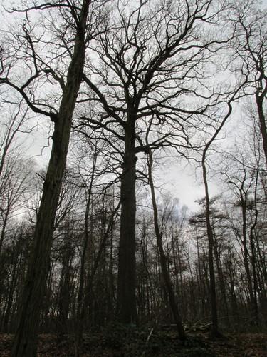 Chêne pédonculé – Uccle, Forêt de Soignes, Boendael IV –  01 Janvier 2014