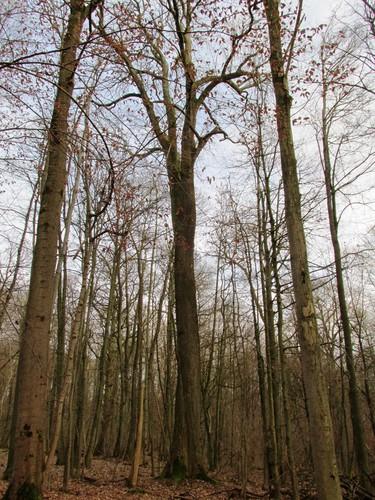 Frêne commun – Uccle, Forêt de Soignes, Boendael IV –  01 Janvier 2014