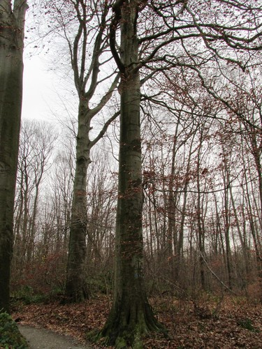 Beuk – Ukkel, Zoniënwoud, Boendael I –  01 Januari 2014