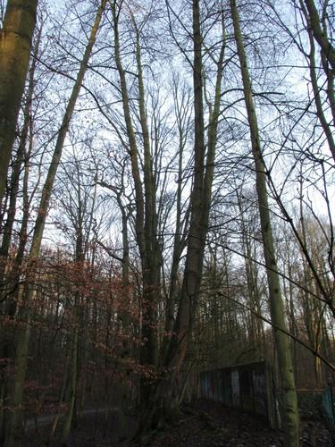 Merisier – Uccle, Hippodrome de Boitsfort, Boendael IV –  01 Janvier 2014