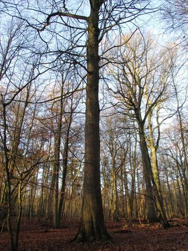 Châtaignier – Uccle, Forêt de Soignes, Boendael VIII –  01 Janvier 2014