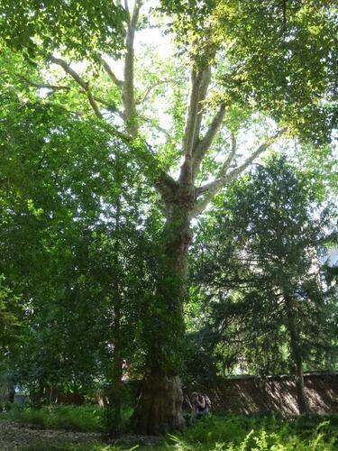 Platane à feuille d'érable – Bruxelles, Parc d'Egmont –  21 Août 2013