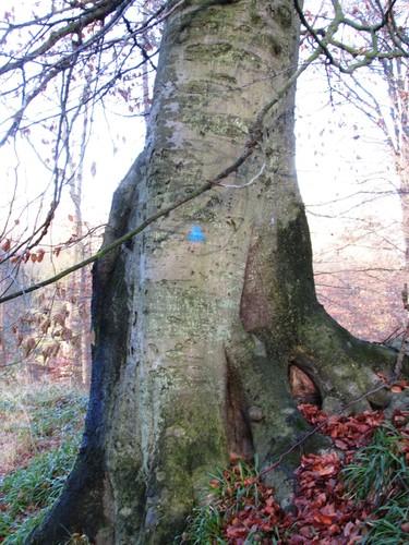 Beuk – Watermaal-Bosvoorde, Zoniënwoud, Bonnier I –  01 Januari 2014