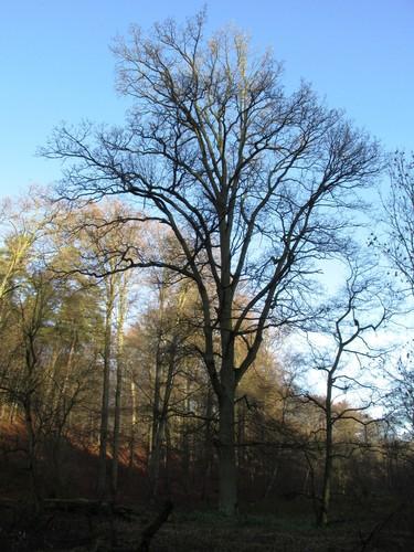 Chêne pédonculé – Watermael-Boitsfort, Forêt de Soignes, Bonnier 0 –  01 Janvier 2014