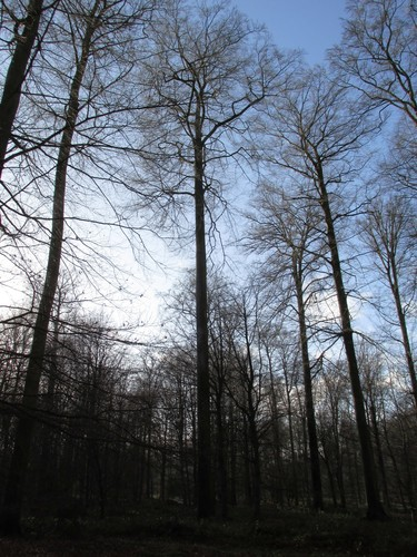 Hêtre d'Europe – Watermael-Boitsfort, Forêt de Soignes, Bonnier V –  01 Janvier 2014