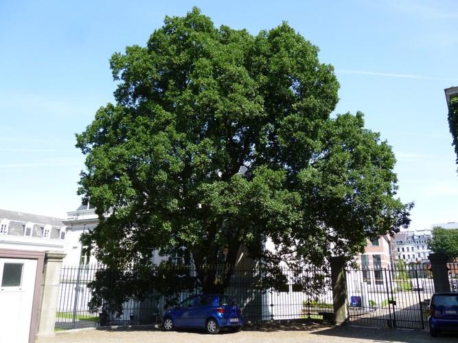 Chêne de Turner<br>Bruxelles Parc d'Egmont Place du Petit Sablon, 8