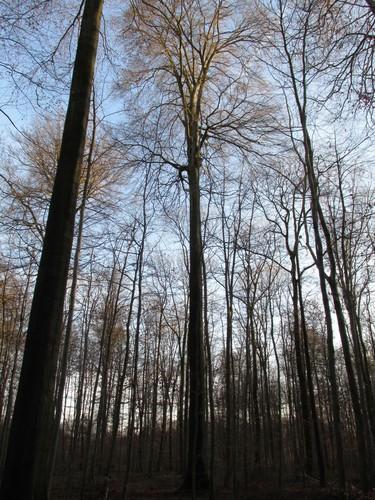 Beuk – Ukkel, Zoniënwoud, Infante VIII –  01 Januari 2014