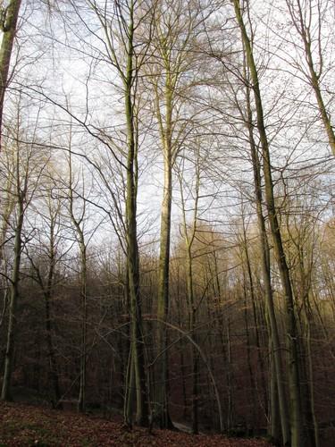 Beuk – Ukkel, Zoniënwoud, Infante VI –  01 Januari 2013