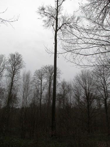 Hêtre d'Europe – Uccle, Forêt de Soignes, Infante V –  01 Janvier 2014