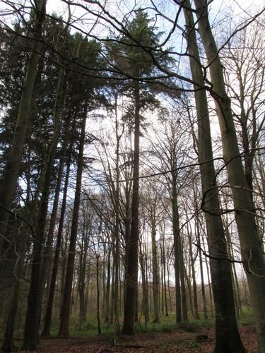 Douglas du Pacifique – Uccle, Forêt de Soignes, Saint-Hubert VI –  01 Janvier 2014