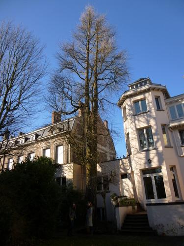 Arbre aux quarante écus<br>Woluwé-Saint-Lambert Rue Vergote, 28