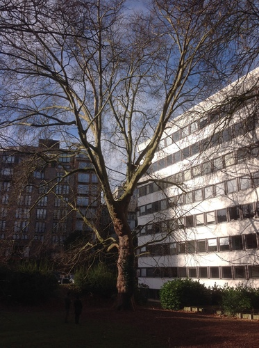 Platane à feuille d'érable – Ixelles, Rue Gachard, 88 –  05 Février 2014