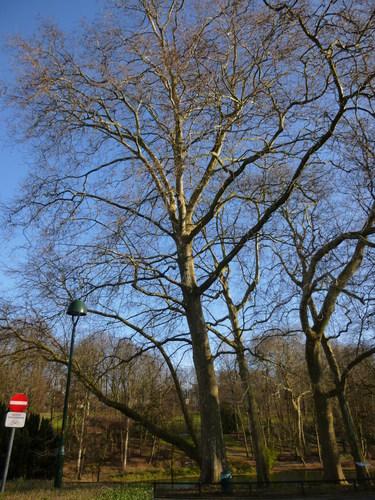 Gewone plataan – Schaarbeek, Josaphatpark –  05 February 2014