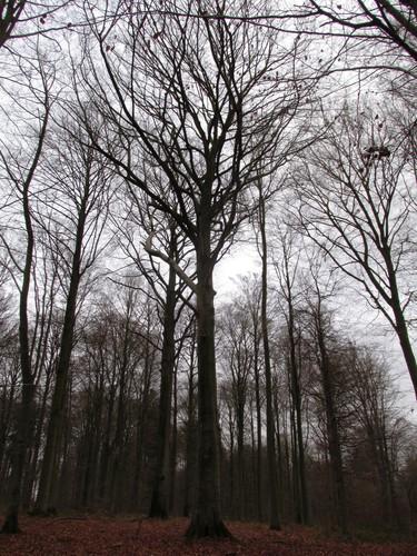 Hêtre d'Europe – Uccle, Forêt de Soignes, Infante I –  01 Janvier 2014