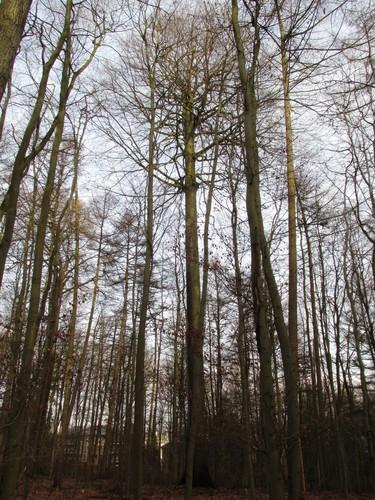 Beuk – Ukkel, Zoniënwoud, Saint-Hubert II –  01 Januari 2014