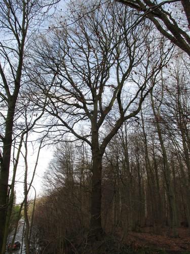 Hêtre d'Europe – Uccle, Forêt de Soignes, Saint-Hubert I –  01 Janvier 2014