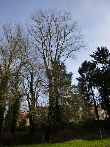 Peuplier du Canada – Watermael-Boitsfort, Parc du Couvent des Religieuses de l'Eucharistie, Avenue Léopold Wiener –  24 Février 2014