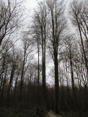 Hêtre d'Europe – Uccle, Forêt de Soignes, Saint-Hubert VII –  01 Janvier 2014