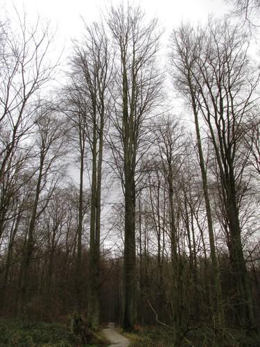 Hêtre d'Europe – Uccle, Forêt de Soignes, Saint-Hubert V –  01 Janvier 2014
