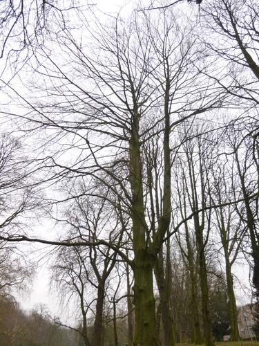 Hêtre d'Europe – Schaerbeek, Parc Josaphat –  17 Mars 2014