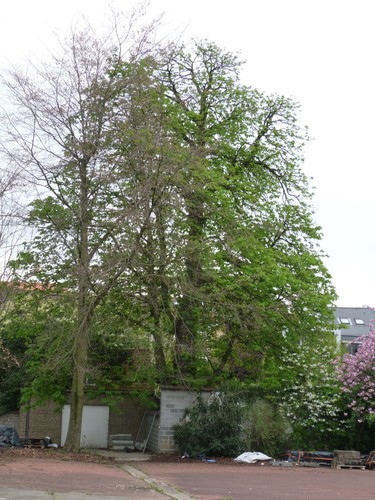Marronnier commun – Ixelles, Rue de la Concorde, 28 –  04 Avril 2014
