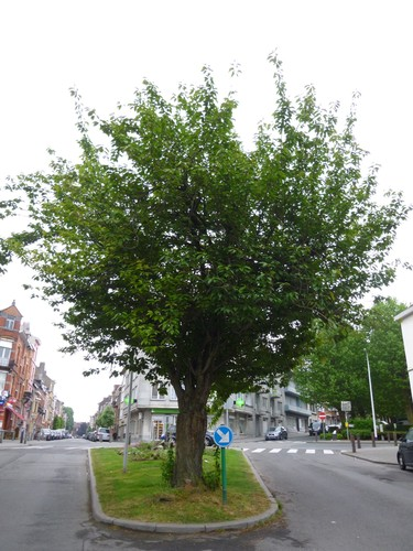 Cerisier du Japon<br>Ganshoren Rue Jean-Baptiste Van Pagé