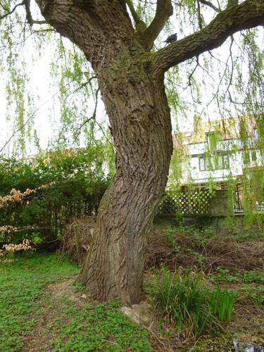 Saule pleureur watermael boitsfort parc de la h ronni re for Rue joseph dujardin 8 anderlecht