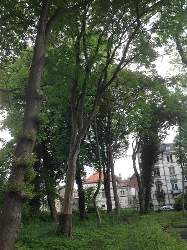 Marronnier jaune – Bruxelles, Square Prince Charles –  08 Mai 2014