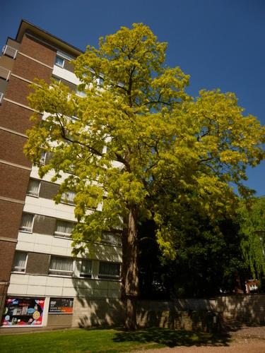 Robinia pseudoacacia f. frisia<br>Anderlecht Avenue Joseph Vanhellemont, 299