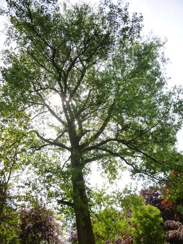 Canadese populier – St.- Pieters - Woluwe, Parmentierpark, Rondeweg, 396 –  20 Mei 2014