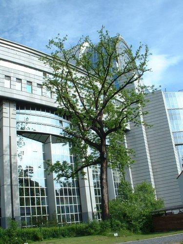 Noyer noir – Bruxelles, Parc privé de l'Institut royal des Sciences naturelles de Belgique et chemin des Chablis, Rue Vautier, 31 –  21 Mai 2002