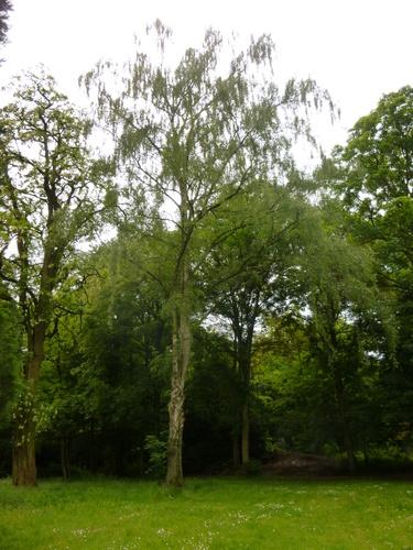 Ruwe, witte, gewone berk – St.- Pieters - Woluwe, Parmentierpark –  21 Mei 2014