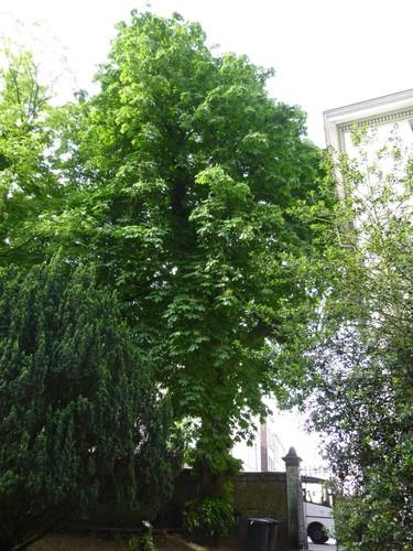 Marronnier commun – Etterbeek, Jardin Jean Félix Hap –  23 Mai 2014