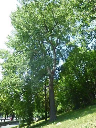 Tril- of ratelpopulier<br>St.- Pieters - Woluwe Parmentierpark Tervurenlaan