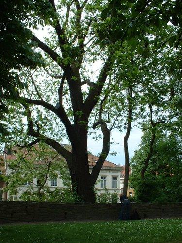 Zwarte of Amerikaanse noot – Brussel, Het privé-park van het Koninklijk Instituut voor Natuurwetenschappen van België en de Chablisweg, Vautierstraat, 29 –  21 Mei 2002