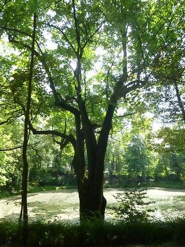 Tilleul argenté pleureur<br>Woluwé-Saint-Pierre Parc Parmentier
