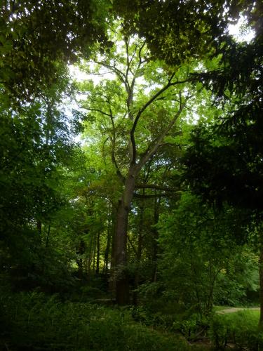 Noyer noir – Woluwé-Saint-Pierre, Parc Parmentier –  18 Juin 2014