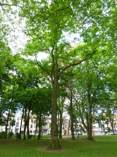 Robinier faux-acacia – Koekelberg, Parc Elisabeth –  18 Juin 2014