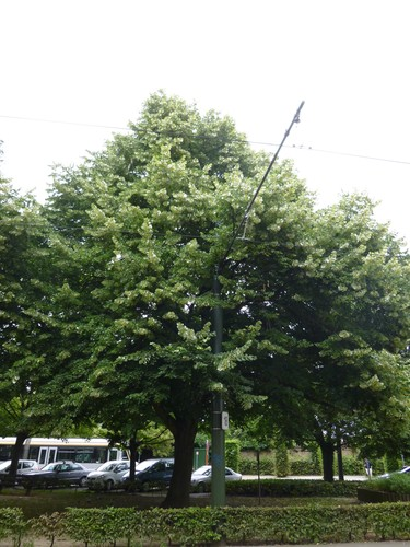 Tilleul argenté – Jette, Avenue Secrétin –  20 Juin 2014