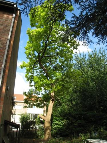 Catalpa à feuilles d'or – Woluwé-Saint-Lambert, Avenue Charles de Thiennes, 78 –  25 Juin 2014