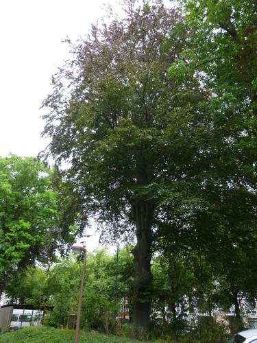 Hêtre pourpre – Bruxelles, Site de l'Hôpital Brugmann , Avenue Ernest Masoin –  14 Juillet 2014