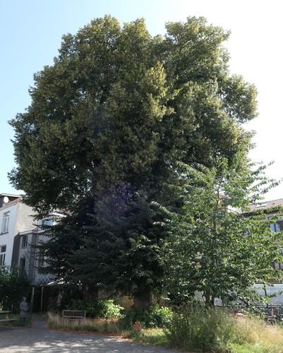 Tilia sp – Bruxelles, Avenue Rommelaere, 1 –  12 Août 2019