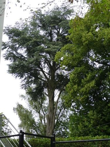Blauwe ceder – Watermaal-Bosvoorde, Théophile Vander Elststraat, 161 –  29 Juli 2014