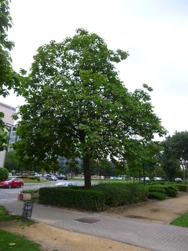 Trompetboom – Brussel, Groendreef –  04 August 2014